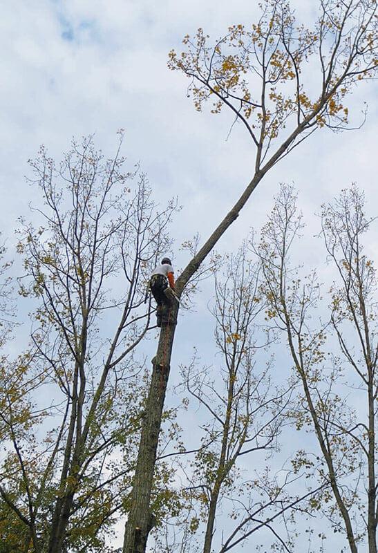 Élagage, coupe d'arbres - Morisseau Paysagistes Nantes