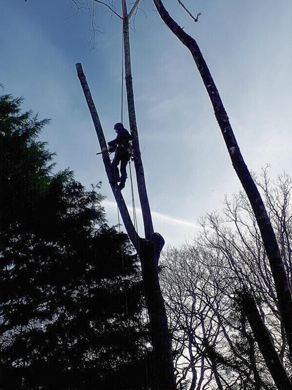 Élagage, coupe d'arbres, taille de branches - Morisseau Paysagistes Nantes