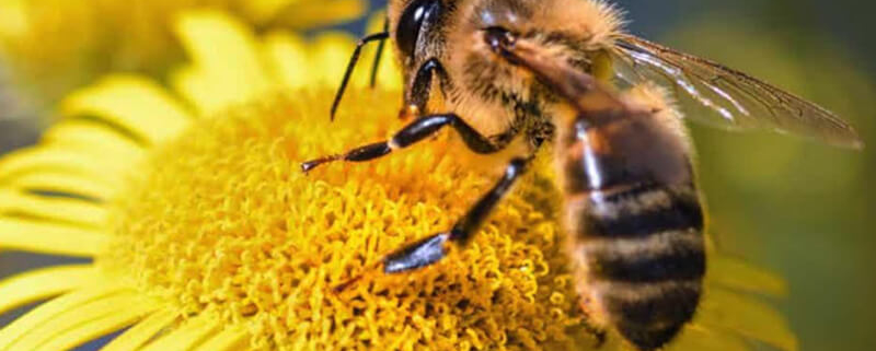 Journée mondiale des abeilles - Votre paysagiste professionnel nantais Morisseau Paysagistes (44)