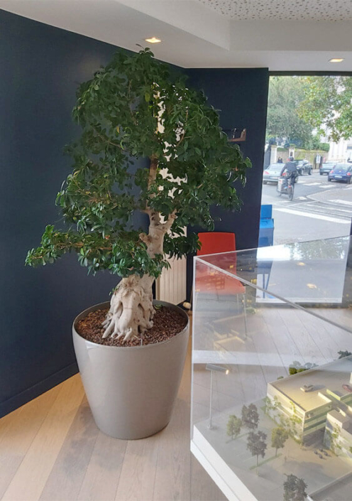 Plante en pot, décoration de bureau professionnel, hall d'entrée, jardin d'intérieur - Morisseau Paysagistes Nantes