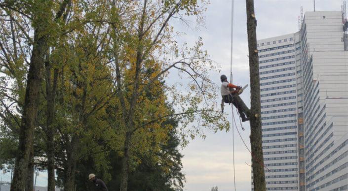 Élagage, taille d'arbre - Morisseau Paysagistes Nantes